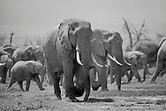 Elephants,  Amboseli National Park, Kenya