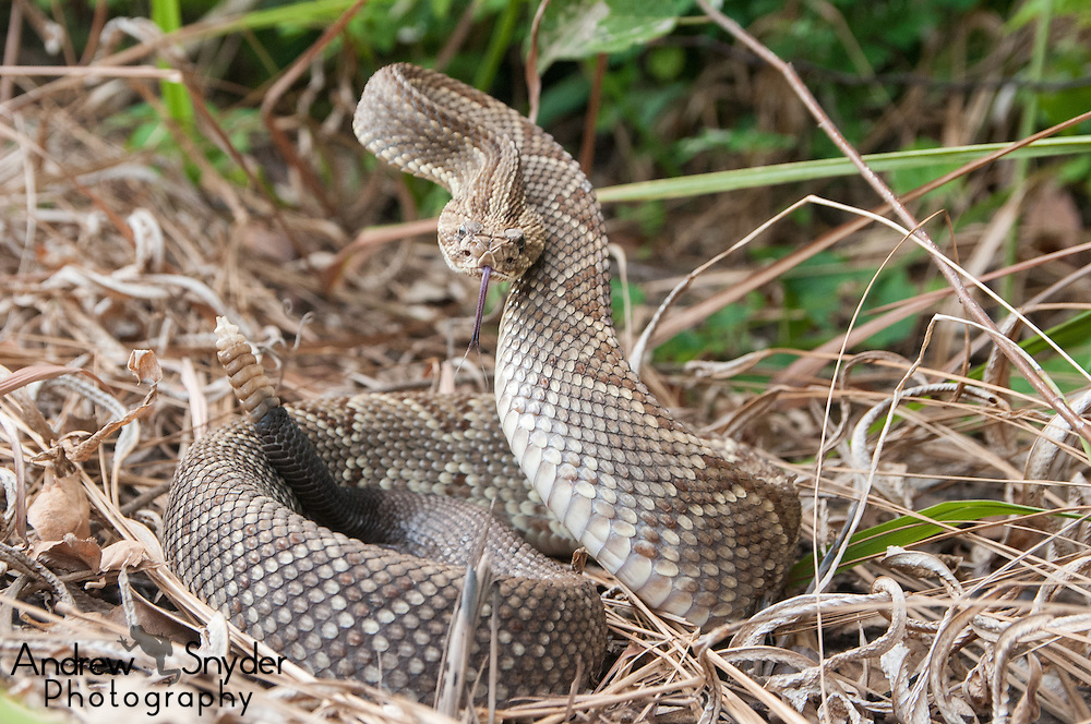 A large neotropical rattlesnake (Crotalus durissus) in a threat display - Kusad Mountain, Guyana
