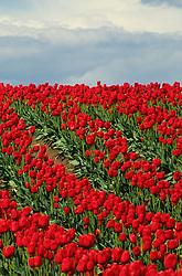 North America, USA, Washington, Skagit Valley. Field of red tulips