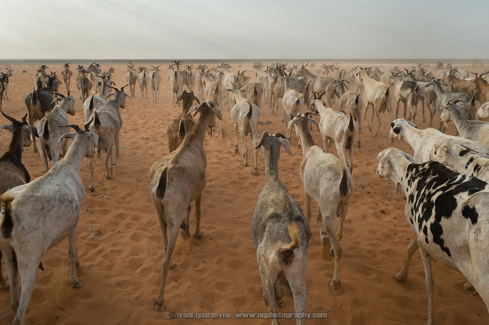 A herd of goats being driven out into the savannah to graze on the edge of the Mbera camp for Malian refugees in Mauritania on 3 March 2013.