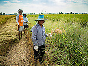 "23 NOVEMBER 2016 - AYUTTHAYA, THAILAND: Farm workers walk around the edge of a rice field during the rice harvest in Ayutthaya province, north of Bangkok. Rice prices in Thailand hit a 13-month low early this month. The low prices are hurting farmers. Rice exports account for around 10 percent of Thailand's gross domestic product, and low prices frequently lead to discontent in the rural areas of Thailand. The military government has responded by sending soldiers to rice mills, to ""encourage"" mill owners to pay farmers higher prices. The Thai army and navy are also buying for their kitchens directly from farmers in an effort to get more money into farmers' hands.  PHOTO BY JACK KURTZ"