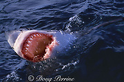 great white shark, Carcharodon carcharias, gaping at surface, Gansbaai, South Africa ( Indian Ocean )