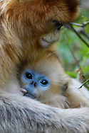 Golden Snub-nosed Monkey, Rhinopithecus roxellana, mother with baby in Foping Nature Reserve, Shaanxi, China