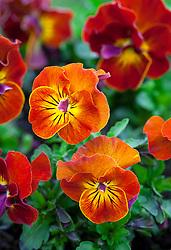 Viola cornuta Angel F1 'Amber Kiss'
