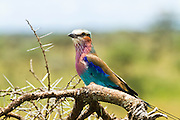 Lilac-breasted roller (Coracias caudatus) perching in a thorn bush. Photographed in Serengeti National Park, Tanzania