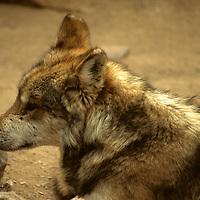 North America, Americas, USA, United States, Arizona. Lone Mexican Gray Wolf at the Arizona-Sonora Desert Museum.