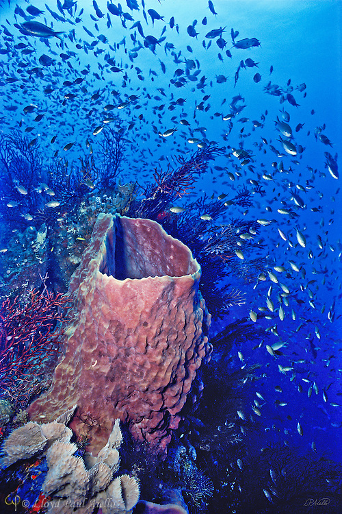 One hundred feet below the ocean surface off the coast of Belize, a 4 foot high Carribean barrel sponge (Xestospongia muta) rises from admist its surrounding garden of branching gorgonians and a cloud of schooling Brown Chromis (Chromis multilineata).  The Belize barrier reef is the world's second largest, only exceeded in size by the Great Barrier Reef of Australia.