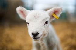 © Licensed to London News Pictures. 19/03/2017. York, UK.  A newly born lamb at Askham Bryan College near York during their annual lambing Sunday event. Spring is definitely on the way as Lambs appear and the UK seeing temperatures as high at 18 degrees this week. Photo credit : Ian Hinchliffe/LNP
