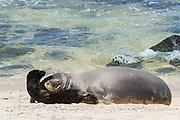 Hawaiian monk seal, Neomonachus schauinslandi ( Critically Endangered endemic species ), mother and five day old pup, nuzzling and playing, Kalaupapa, Molokai, Hawaii, USA