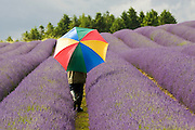 Woman walks through Snowshill lavender field, Worcestershire, United Kingdom The Cotswolds