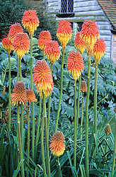 Kniphofia rooperi in the Barn garden at Great Dixter. Red Hot Poker