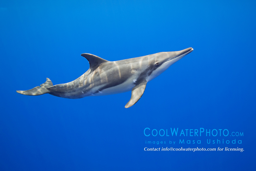 young rough-toothed dolphin, Steno bredanensis, Kona Coast, Big Island, Hawaii, USA, Pacific Ocean