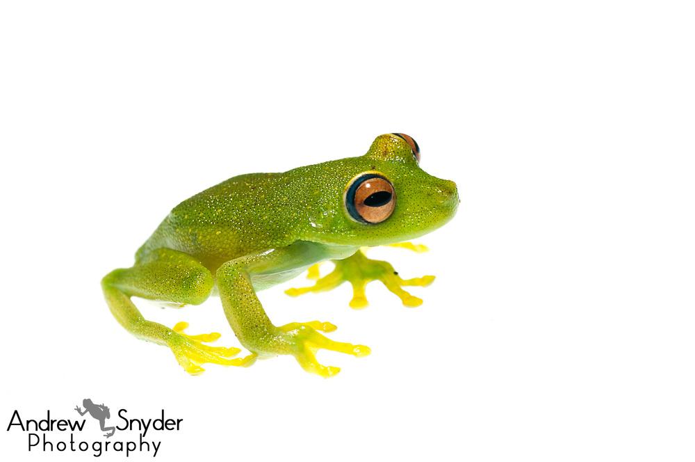 Demerara Falls tree frog, Hypsiboas cinerascens, Kanuku Mountains, Guyana, July, 2014
