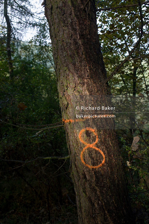 The number 8 has been sprayed in aerosol on to tree bark to identify their location in an English wood.