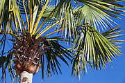 Fortaleza_CE. Brasil.<br /> <br /> Carnauba (Copernicia prunifera) em Fortaleza, Ceara.<br /> <br /> Carnauba Palm (Copernicia prunifera) in Fortaleza, Ceara.<br /> <br /> Foto: RODRIGO LIMA / NITRO.