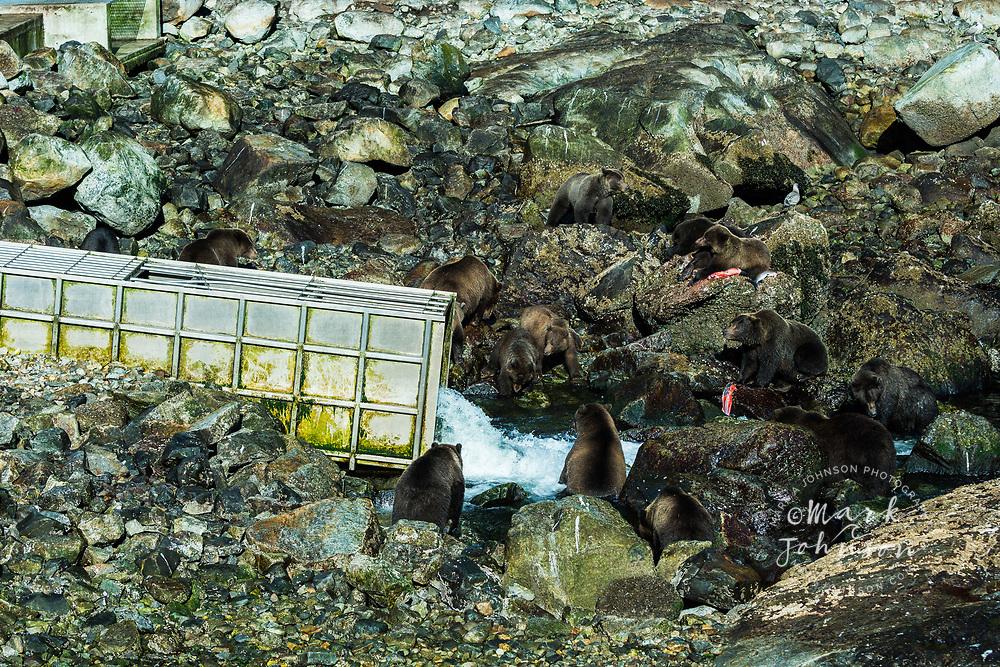 Grizzly Bears feasting on salmon, Baranof Island, Alaska, USA