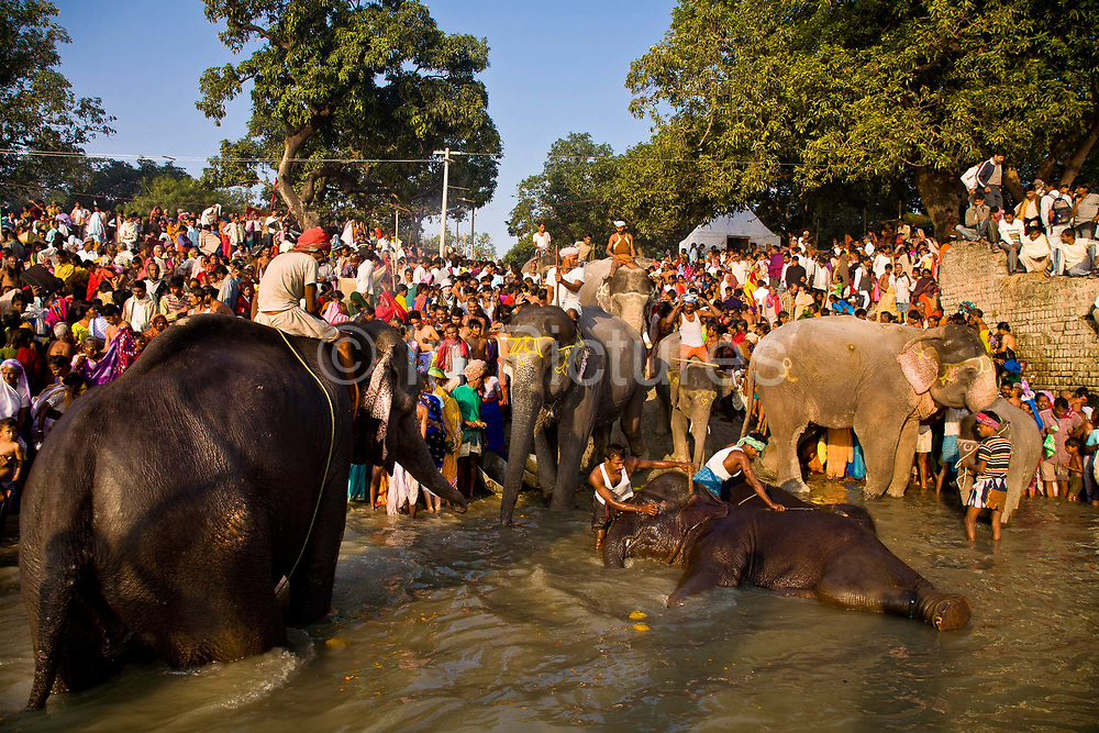 Elephants and pilgrims share the Gandak river banks to bathe and drink water during the month long Sonepur animal fair close to Patna, Bihar province. The most auspicious day to share this same space is during the day following the full moon give that elephants are revered animals and respected like gods, India