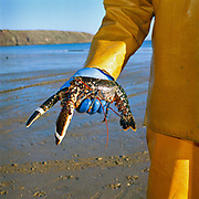 Julian, a Filey fisherman holds a lobster which he has just caught on his coble (boat), Filey, North Yorkshire, UK