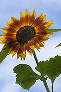 Sunflower (Mike Siegel / The Seattle Times)
