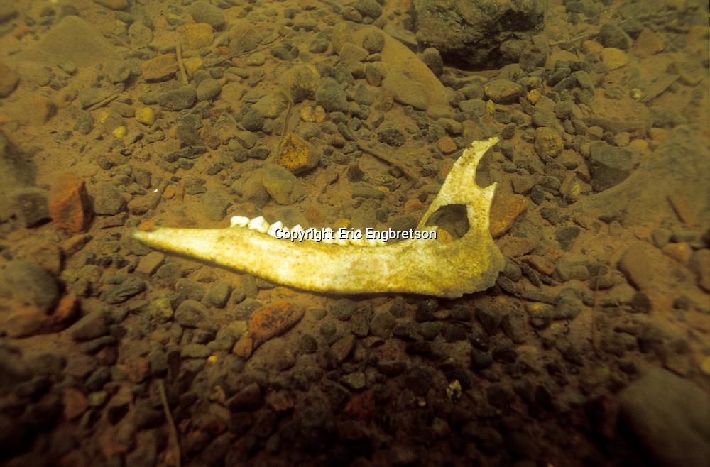 Underwater Scene-Jaw bone from deer on a lake bottom<br /> <br /> ENGBRETSON UNDERWATER PHOTO