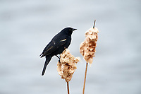 Male Red-winged Blackbird (Agelaius phoeniceus) perched on cattails, French Basin trail, Annapolis Royal, Nova Scotia, Canada,