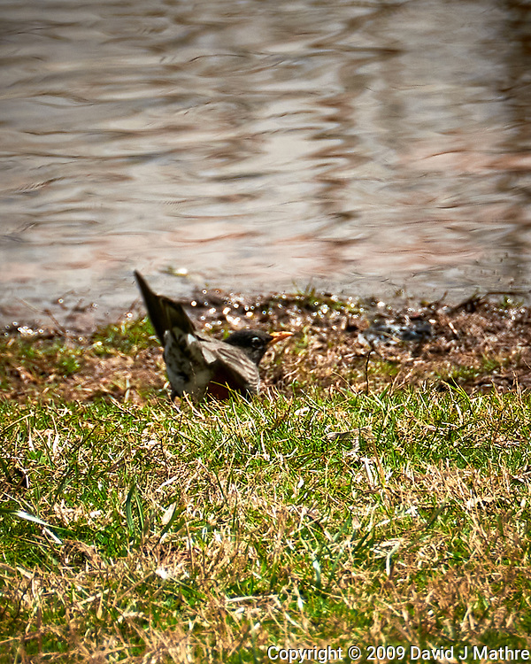 American Robin. Image taken with a Nikon D300 camera and 18-200 mm lens.