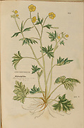 16th century, watercolor, hand painted woodcutting botanical print from Leonhart Fuchs book of herbs: De Historia Stirpium Commentarii Insignes Published in Basel in 1542 The original manuscript this image is taken from shows signs of water damage