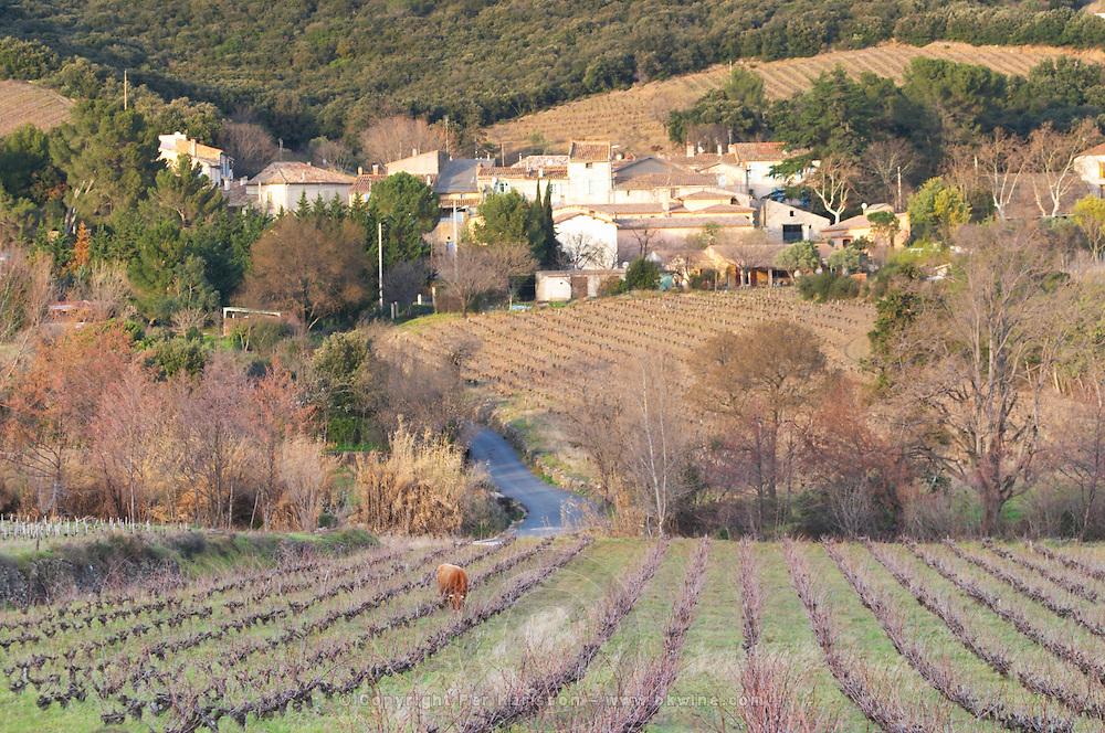 Vineyard with cows, cattle, bulls near Lentheric, below Ch des Estanilles. Faugeres. Languedoc. France. Europe.