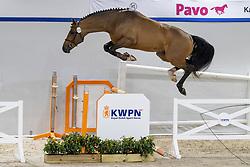126, Ninja<br /> KWPN Hengstenkeuring 2021<br /> © Hippo Foto - Dirk Caremans<br />  02/02/2021