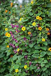 Thunbergia alata 'Superstar Orange' (Black-eyed Susan) with Rhodochiton atrosanguineus 'Purple Bells' growing up a birch tripod. Purple bell vine