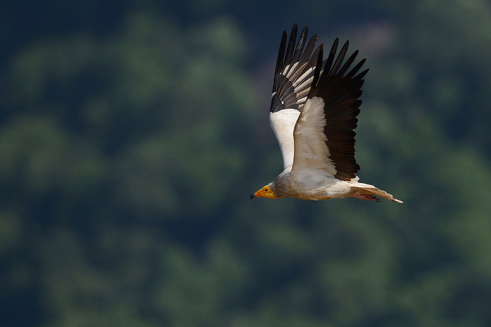 Egyptian vulture, Neophron percnopterus, adult, Madzharovo, Eastern Rhodope mountains, Bulgaria, endangered species