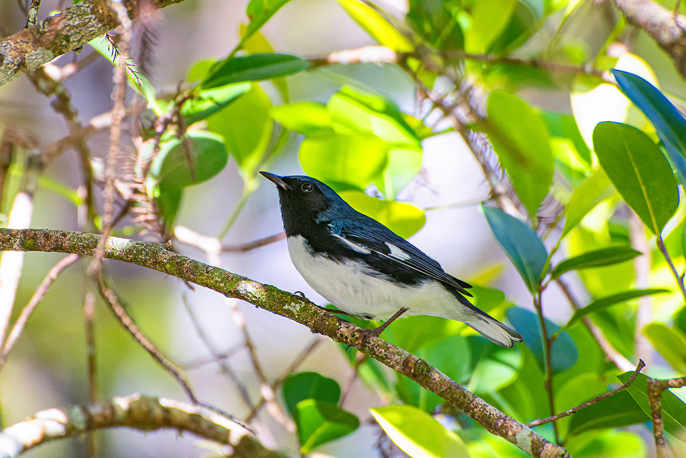Not commonly seen in southern Florida, the black-throated blue warbler is native to Eastern Canada down to the Carolinas, and is one of the few blue-colored birds in the Southeast. It is usually only seen while it is migrating south to the Caribbean or Central America where it spends its winters. This one was photographed in the Big Cypress National Preserve of SW Florida on a brisk fall morning.