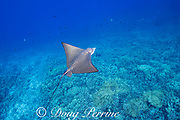 young juvenile spotted or ocellated eagle ray, Aetobatus ocellatus, with bent tail, Honokohau Bay, Kailua Kona, Hawaii Island ( the Big Island ), Hawaii, USA ( Central Pacific Ocean )