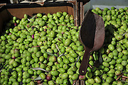 Fresh, recently picked olives, before processing to extract olive oil