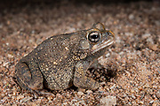 Flat-backed toad (Bufo maculatus)<br /> Marakele Private Reserve, Waterberg Biosphere Reserve<br /> Limpopo Province<br /> SOUTH AFRICA<br /> HABITAT & RANGE: More or less permanent water of s.e. Africa