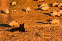 Small black Romanian shepherd dog and domestic sheep (Ovis aries) in the Tarcu Mountains Natura2000 area close to the Meteorological Station of Cuntu. Southern Carpathians, Munții Ṭarcu, Caraș-Severin, Romania.