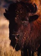 Bison portrait, North Unit, Theodore Roosevelt National Park, North Dakota.