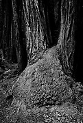 Muir Woods National Monument, San Francisco north, Redwood tree growth, unusual forest growth,