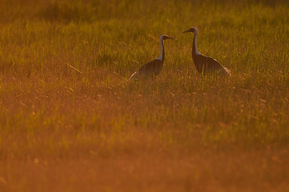 Two White-naped Crane, Grus vipio, walking in orange sunlight in Inner Mongolia, China