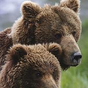Alaskan brown bear (Ursus middendorffi) portrait of a sow and her spring cub. Alaska Peninsula