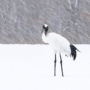 Lone Japanese crane (Grus japonensis) in a snowstorm. This species is found in Siberia, Northeast China, Mongolia, Korea and northern Japan. The population in northern Japan is mostly non-migratory, remaining resident on the island of Hokkaido throughout the year. This species is listed as Endangered on the IUCN Red List.