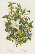 Poisonous plants.  As well as the poisonous  Black or Common Nightshade (Solanum nigrum) top left, and Woody Nightshade or Bittersweet (Solanum dulcarama) top right, there are the more dangerous Deadly Nightshade(Atropa belladonna) bottom left, which contains the alkaloids Atropine and Hyoscyamine, Thorn Apple (Datura stramonium) centre and Henbane (Hyoscyamus niger) right which contain Hyoscyamine.  (c1885).  Chromolithograph.