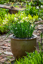 Narcissus 'W.P. Milner' in a terracotta pot at Glebe Cottage