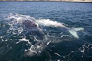 Southern Right Whale, Eubalaena australis, female and white calf off Puerto Piramides, Valdes peninsula
