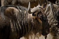 A Blue Wildebeest in the Ngorongoro Crater, Tanzania
