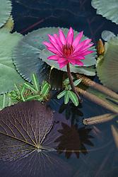 Water Lily, magenta #8 vert