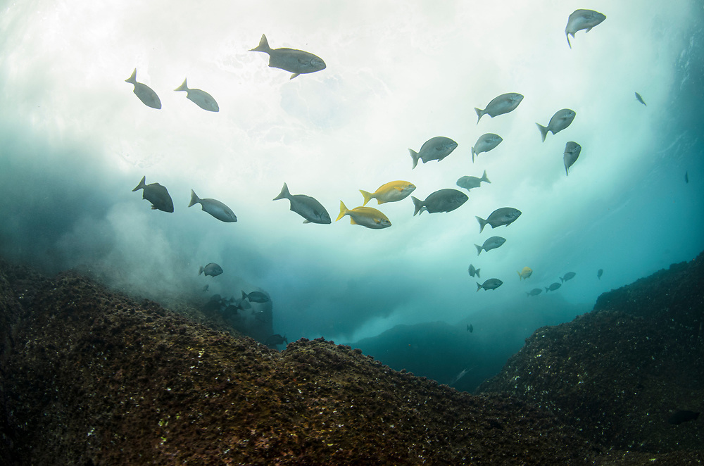 Kermadec, Kermadec Islands, Rangitāhua, New Zealand, remote, diving, rare, nz, Kyphosus, pacificus, Beaked, Drummer