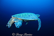 male green sea turtle, Chelonia mydas, showing long, swollen tail typical of mature male in mating condition, Sipadan Island, Borneo, Malaysia ( Celebes Sea, Pacific Ocean )