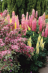 Weigela praecox 'Variegata' in flower with pink lupin 'The Chatelaine' and yellow lupin 'Chandelier'
