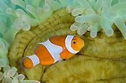 False Clown Anemonefish (Amphiprion ocellaris) & Magnificent Sea Anemone (Heteractis magnifica)<br /> Banda Sea<br /> Indonesia